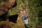 Sibirische Tiger (Panthera tigris altaica) oder Amurtiger