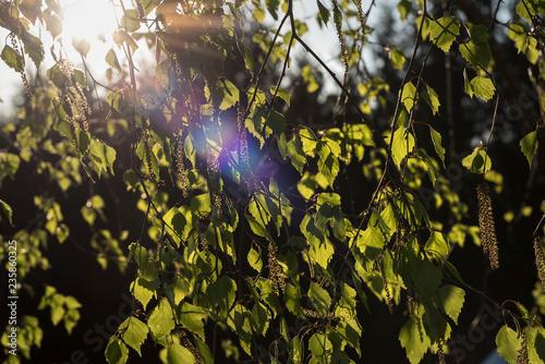 Birkenblüte - 235860325