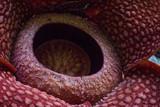 Close-up shot of the Rafflesia flower - 235880310