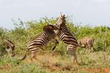 Zebra fight - Kruger National Park - South Africa - 235896373