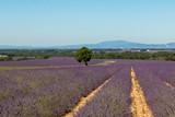 lavender fields in Valensole © Pietro