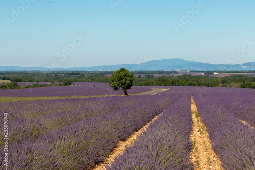 lavender fields in Valensole