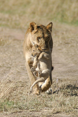 Lioness carries her cub in her mouth in Masai Mara National Park in Kenya