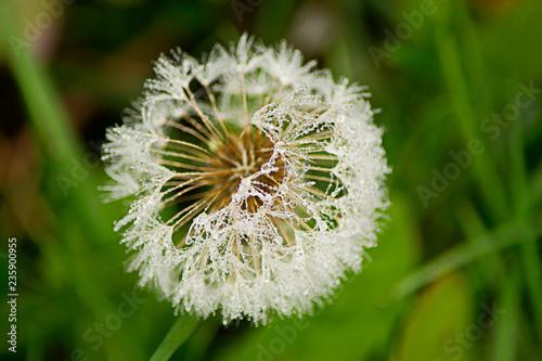 Old dandelion in the park.
