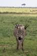 Zebra im Tsavo Ost Nationalpark in Kenia