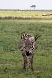 Zebra im Tsavo Ost Nationalpark in Kenia - 235918368