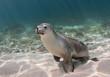 Australian sea lion playing