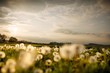 Dandelions in a wild meadow in southern England