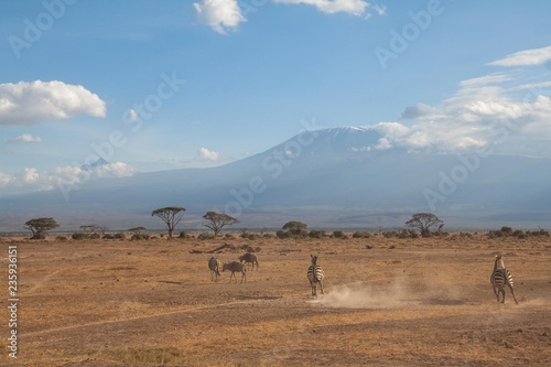 Zebras in der Savanne im Amboseli Nationalpark vor dem Kilimandscharo