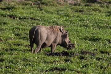 Warzenschwein im Amboseli Nationalpark in Kenia