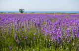 Lavender field © Igor Luschay