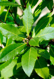 GROWING BAY LEAVES