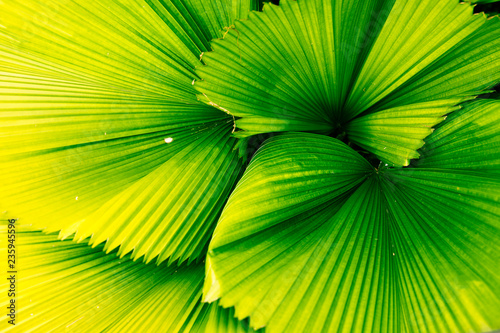 Green palm leaf, palm leaf texture is used as background image, Background for graphics