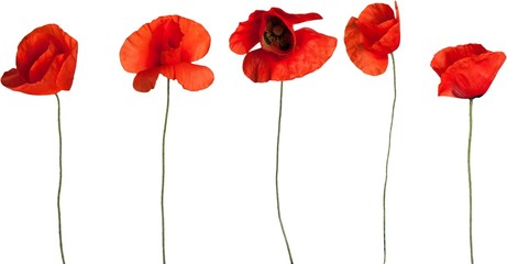 Red poppy flowers - isolated