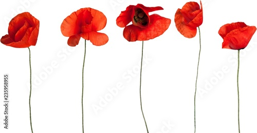 Red poppy flowers - isolated - 235958955