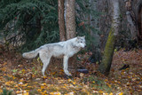 Tundra Wolf in the Fall 1074