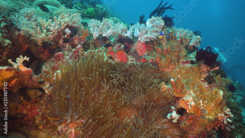 fototapeta na ścianę Clown Anemonefish in actinia on coral reef. Amphiprion percula. Mindoro. Underwater coral garden with anemone and clownfish. Philippines