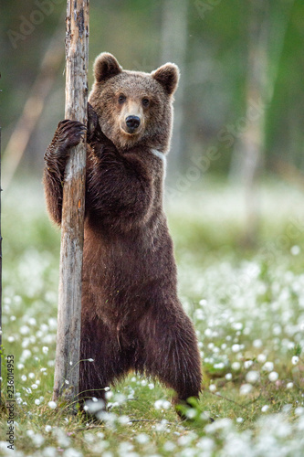 Leinwanddruck Bild Brown bear cub  standing on his hind legs in the summer forest on the bog among white flowers. Front view. Natural Habitat. Brown bear, scientific name: Ursus arctos. Summer season.