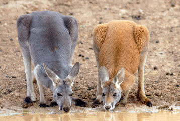red kangaroos drinking at a waterhole in the far west of NSW, Australia.