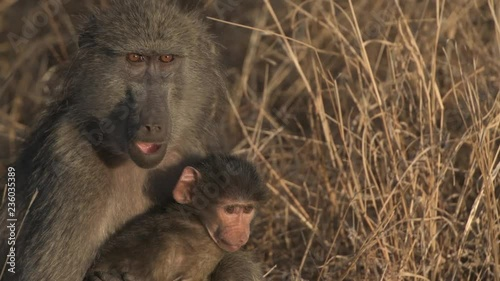 A female Baboon caring for a tiny baby baboon of their troop.