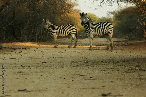 Zebras - 236049105