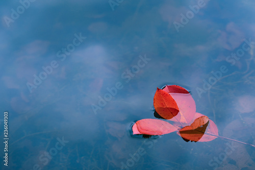 Red leaves float on water. Bright colored autumn background
