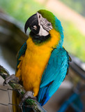 colorful portrait of a blue and yellow macaw