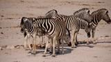Zebra at waterhole in Etosha National Park, Namibia - 236051328