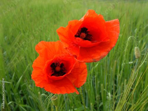 Mohn Blumen Blüte - 236060741