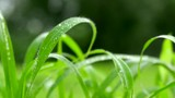 Closeup of wet blade of grass swaying in the breeze - 236090186