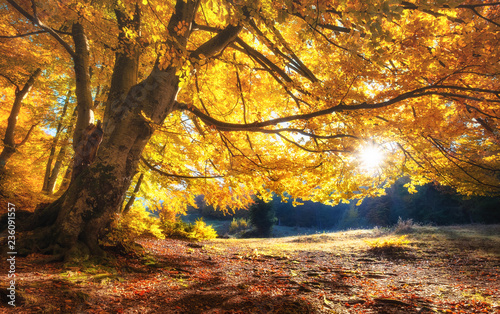 fototapeta na ścianę Sun rays through autumn trees. Natural autumn landscape in the forest. Autumn forest and sun as a background. Nature at the autumn time