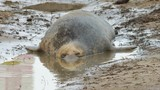 Female Cow Grey Seal Laying In a Pool of water on Beach. At Donna Nook, Lincolnshire. - 236091764