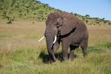 Elephant bull walking in Serengeti National Park in Tanzania
