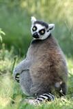 Lemure - 236116995