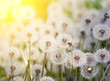 Many white fluffy dandelion flowers on the meadow. A joyous light-hearted mood. Soft selective focus.
