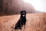 Labrador dog breed in the autumn forest © Мария Старосельцева