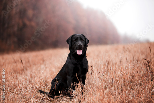 Labradora psa traken w jesień lesie