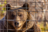 portrait with the brown bear at the zoo among the bars - 236127350