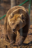 portrait with the brown bear at the zoo among the bars - 236127362