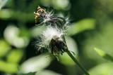 Flower looks like a closed dandelion