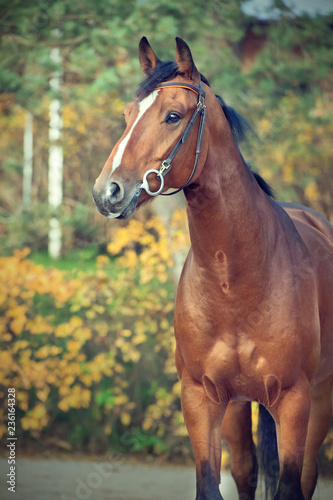 portrait sportive warmblood horse posing against stable