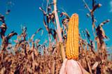 Ear of corn ready for harvest - 236193988
