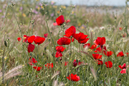 Poppies in the green field - 236205988