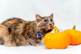 Halloween cat with an blue bow tie © Nichizhenova Elena