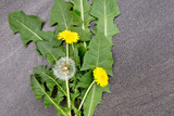 Yellow Dandelion flowers and seed puff with leaves