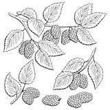 Mulberry berry branch graphic black white isolated set sketch illustration vector - 236224954