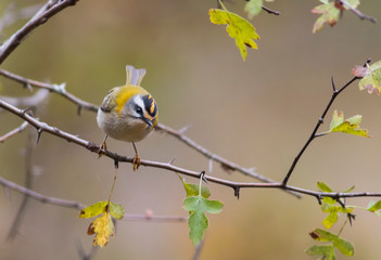 Firecrest bird on branch