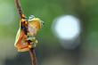 Frog, flying frog,