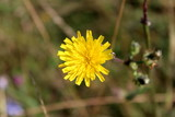 Dandelion or Taraxacum fully open blooming bright yellow flower on green leaves, branches and other garden vegetation background
