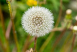 Full Dandelion in Bloom